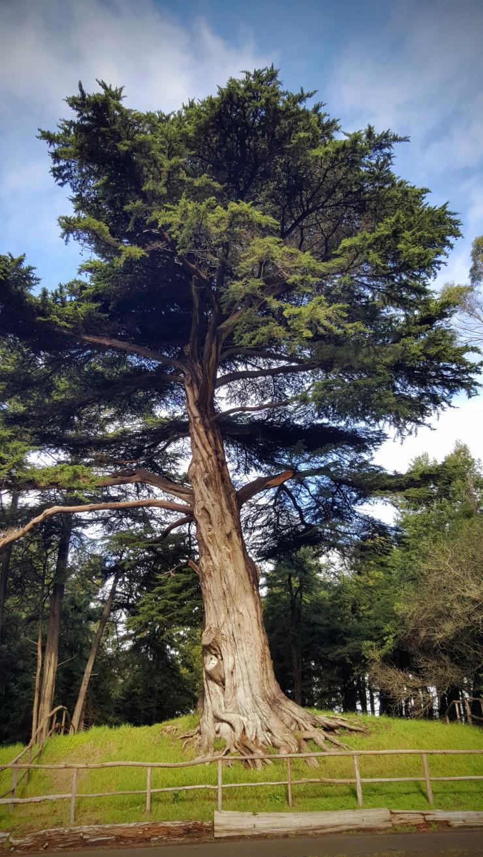 MLK - Tree